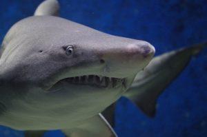 Bild visar en närbild på en haj som simmar i vattnet. Huvudet är i fokus och visas från sidan. I bakgrunden kan man se hajens bakfena ur fokus.