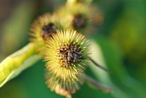 Bild visar i en taggig blomma med krokuddiga holkfjäll ur familjen korgblommiga växter.
