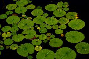 Bild visar ca 25 gröna lotusblad av olika storlekar som vilar på en vattenyta.